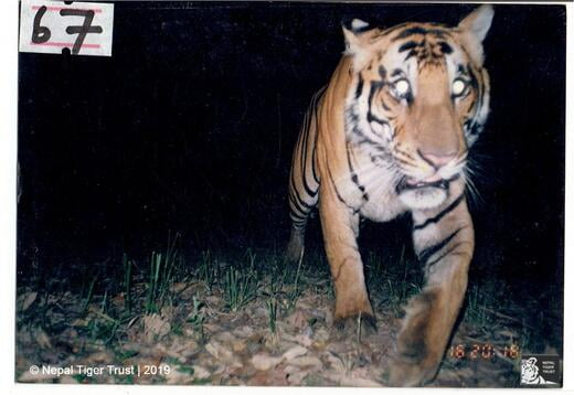 Transient male tiger
